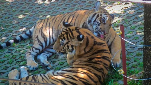 Tigers at Tiger Kingdom in Chiang Mai