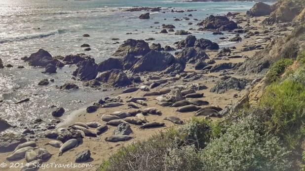Elephant Seals at Piedras Blancas #8