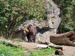Brown Bear at Seattle Zoo
