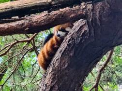 Red Panda at Seattle Zoo