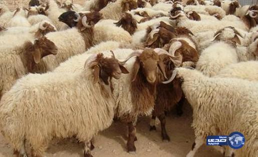 أمانة الرياض تعتمد ( 17 ) سوقاً لبيع المواشي وتحدد ( 6 ) مسالخ لاستقبال الأضاحي