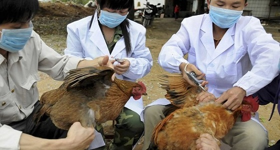 أول إصابة بشرية بفيروس إتش7 إن4 المسبب لإنفلونزا الطيور في الصين