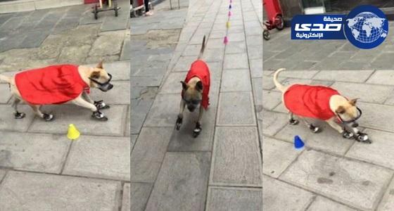 """بالفيديو.. كلب يرتدي """" عباءة حمراء """"  يذهل العالم بمهاراته المتعددة"""
