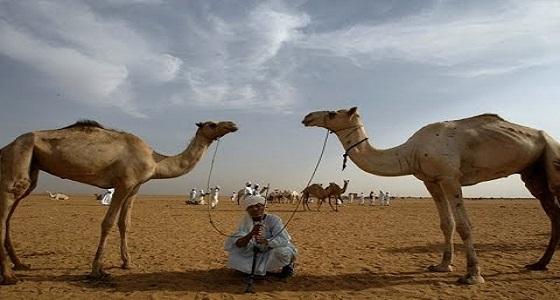 «أرحام الإبل» طريق مهربي الذهب في السودان