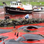 Newly killed whales