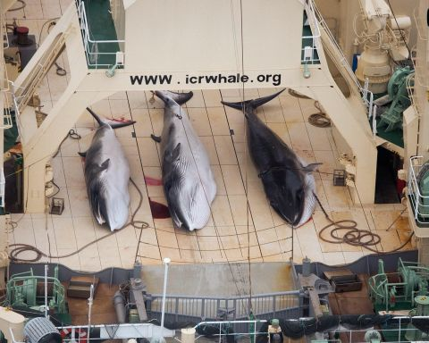 Poached Minkes on Japanese ship inside Southeron Ocean Whale Sanctuary