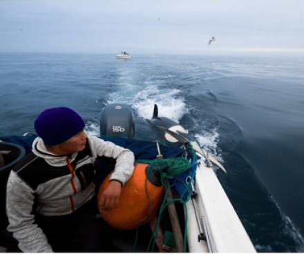 Whaling - Greenland harpooning Orcas
