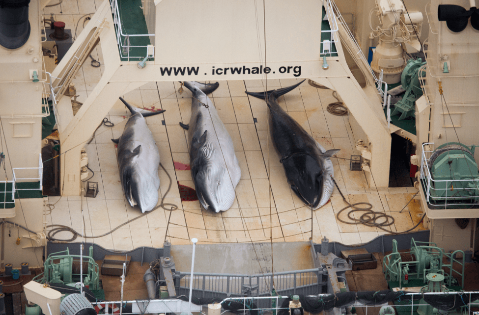 Japan whaling illegally in sanctuary