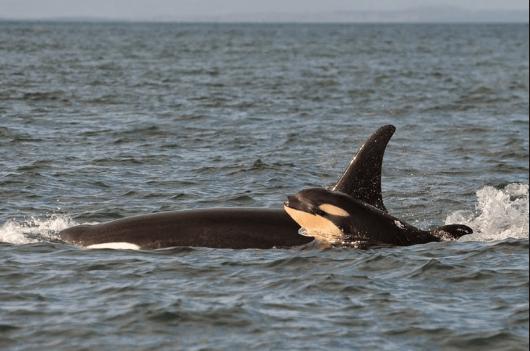 Salish Sea Orcas - Scarlet