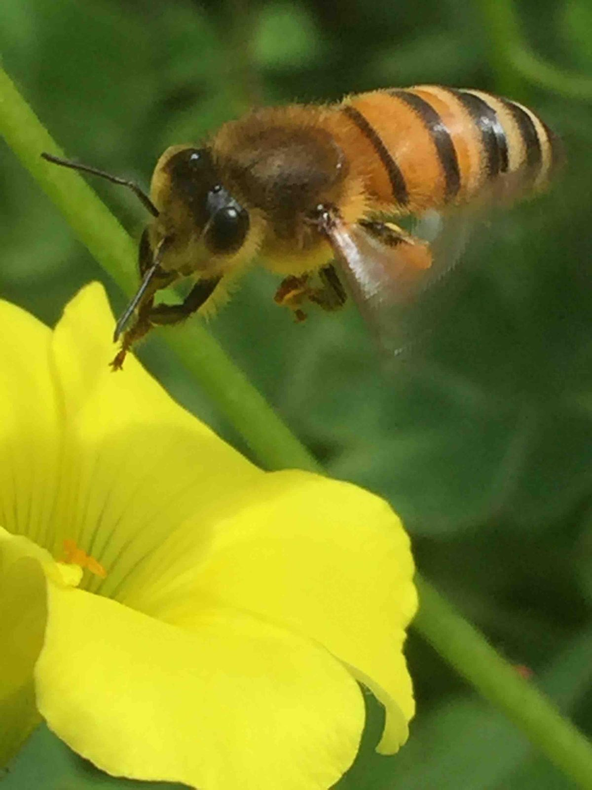 Bees - worker bee