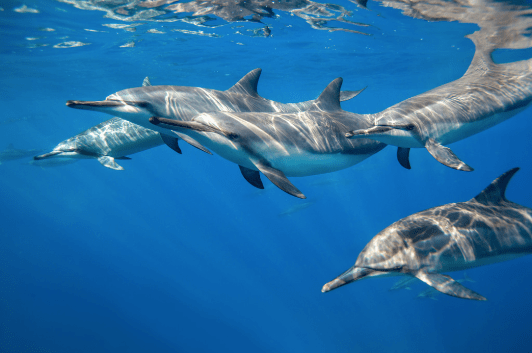 Empty the Tanks - Spinner Dolphins in the Ocean