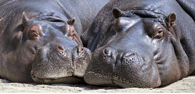 Zambian hippos