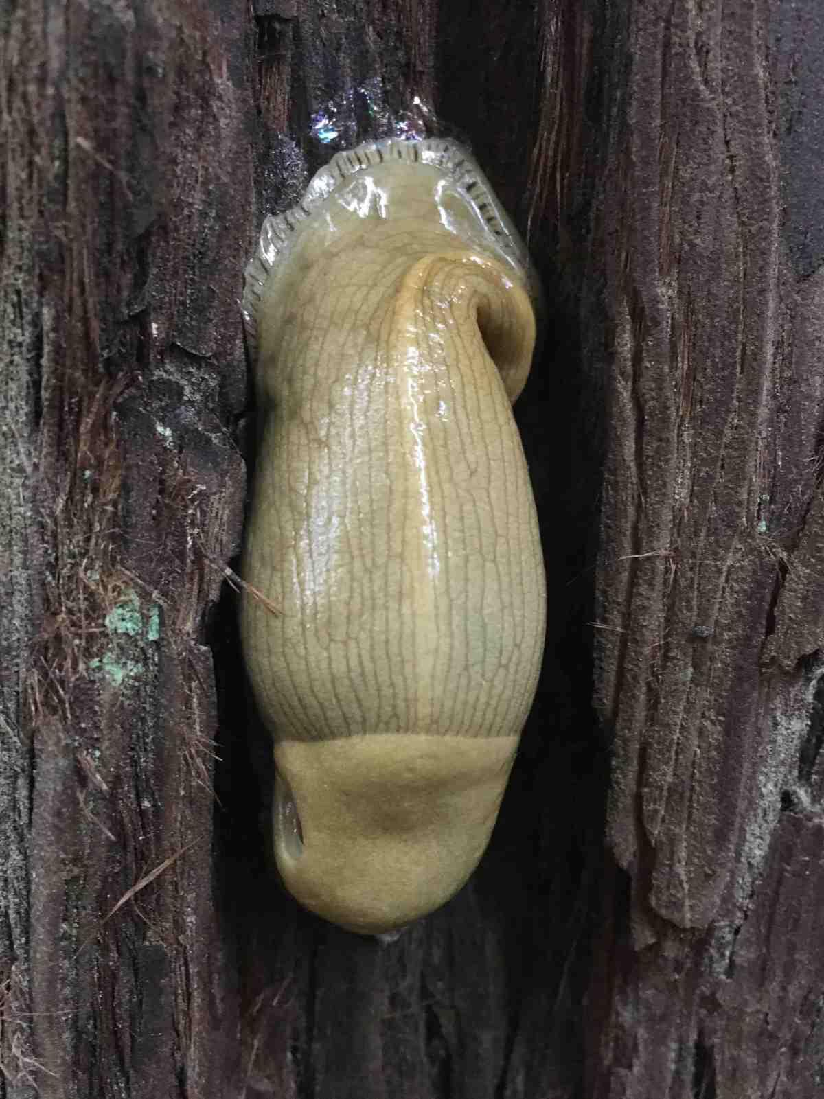 banana slugs protect redwoods