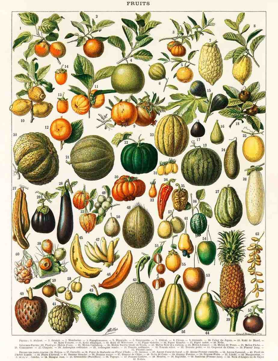 Adolphe Millot illustration of a wide variety of fruits and vegetables from Nouveau Larousse Illustre, (1898) fruits and vegetables