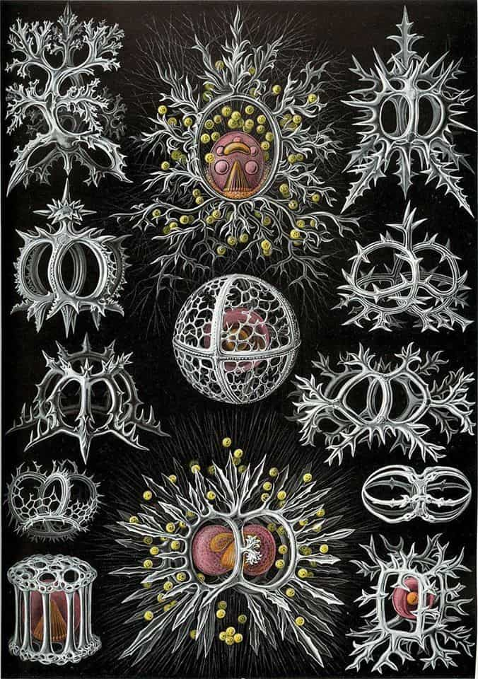 Ernst Haeckel, (German, 1834-Jena, August 8, 1919), Illustration No. 71, Stephoidea from Art forms in Nature, 1904