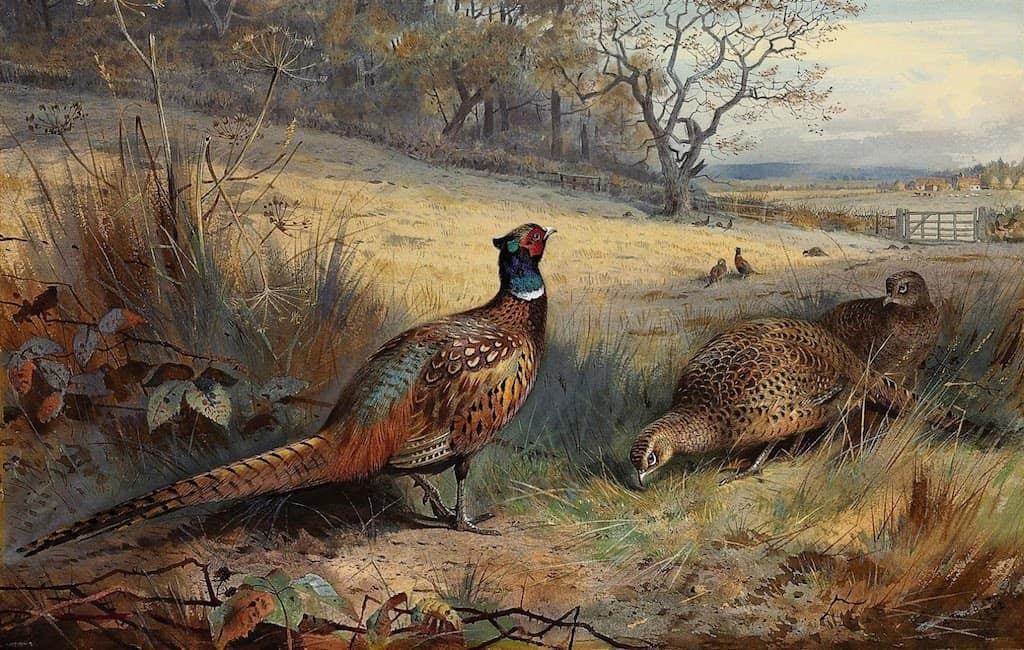 Archibald Thorburn, naturalist illustrator - Pheasants
