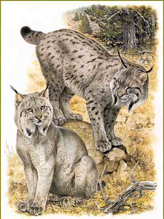 Canadian Lynx by Robert Dallet (1923-2006)