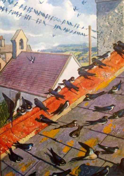 Charles-Tunnicliffe-Swallows-on-the-roof-of-Shorelands-illustration-for-'What-to-Look-for-in-Autumn-1960