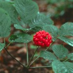 Popular Male Enhancement Ingredients: All You Should Know About Panax Ginseng