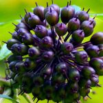 Siberian Ginseng For Male Sexual Health – A Way To Make Things Firmer?