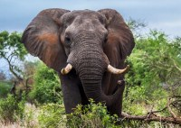 http://www.slate.com/articles/health_and_science/science/2017/11/lifting_the_ban_on_elephant_trophies_will_probably_help_save_elephants.html