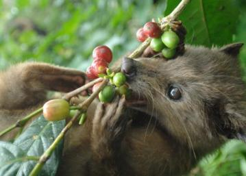 Wild civet, kopi luwak Bali | Ummi Goes Where?