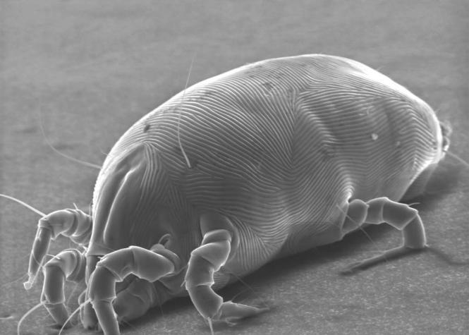 Dust Mite Larva