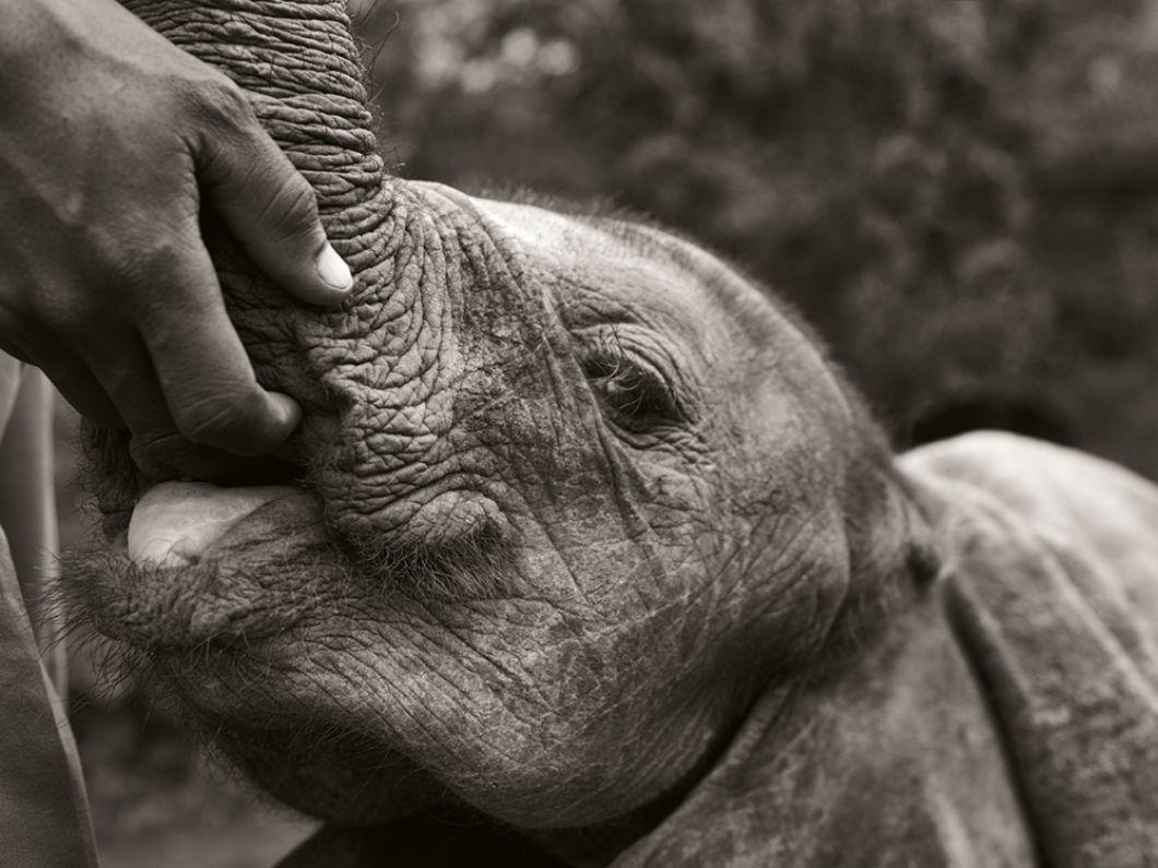 «Le Trust milite contre le braconnage, pour la protection de la vie sauvage, de l'environnement et le bien-être animal. Il fournit une assistance vétérinaire aux animaux dans le besoin, sauve et élève des éléphants et des rhinocéros, entre autres espèces. Tout comme les humains, les éléphants se réconfortent dans les situations stressantes: c'est l'une des nombreuses fonctions de la trompe. Ici, la main du gardien assume ce rôle, jusqu'à ce que l'éléphant ait deux ans.»