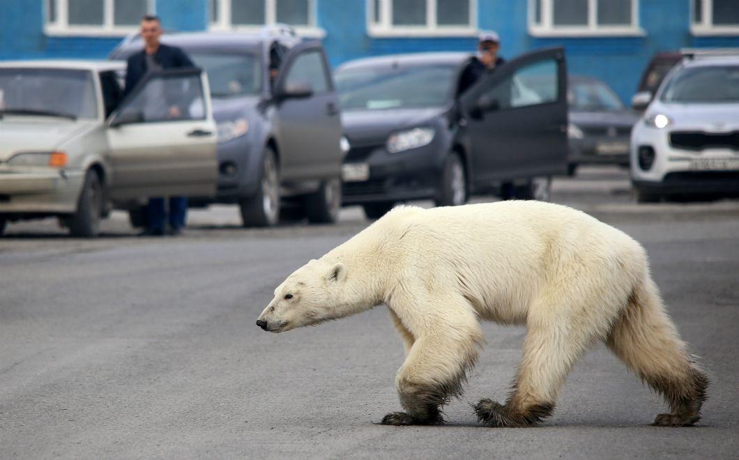 Un ours polaire affamé marche sur une route à la périphérie de la ville industrielle russe de Norilsk, le 17 juin 2019. Visiblement exténué, il est allé chercher de la nourriture dans les bennes à ordures de la ville, à plus de 800 kilomètres de son habitat traditionnel. Les incursions d'ours polaires en quête de nourriture seraient de plus en plus fréquentes dans l'Arctique russe, à mesure que leur habitat et leur alimentation sont dégradées par le changement climatique et la fonte des glaces.