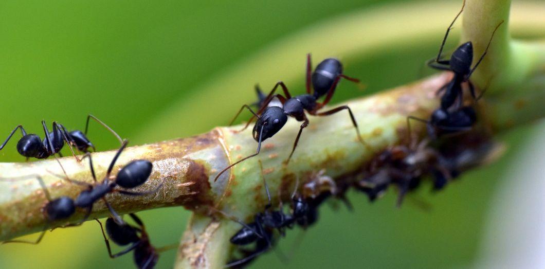 Les expériences ont été effectuées sur des fourmis argentines, aussi appelées fourmis de feu. Ici des fourmis noires. | Sandeep Handavia Pixabay