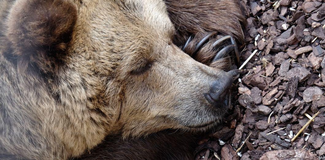 Pendant l'hibernation, seuls les tissus adipeux des grizzlys changent.|Daniele Levis Pelusi via Unsplash