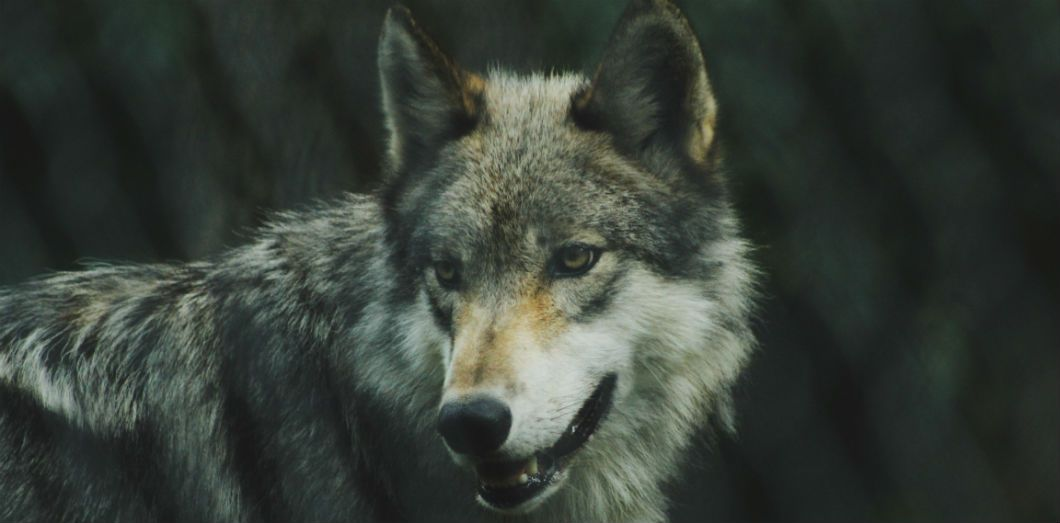 Le loup gris sauvage  | Michael LaRosa via Unsplash CC License by