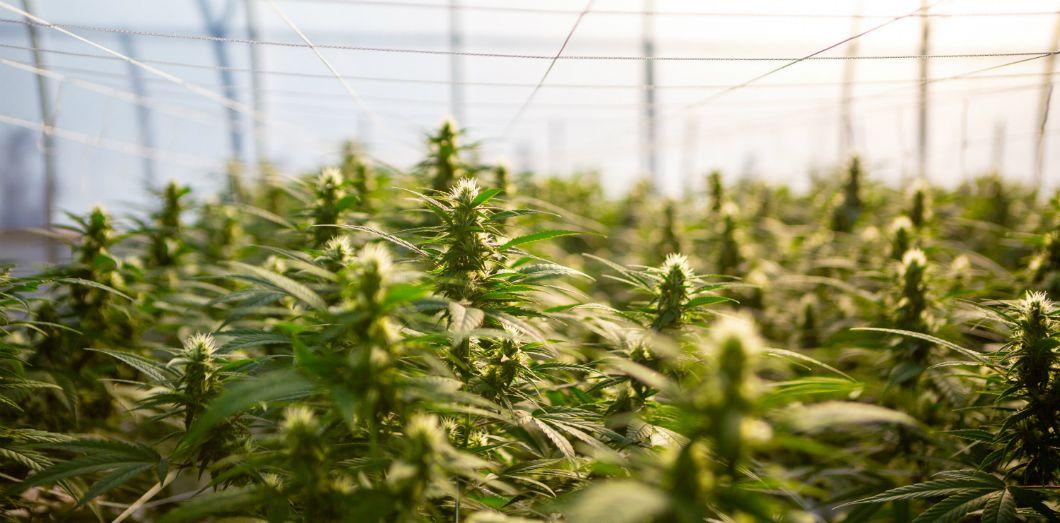 Cette plante, qui appartient à la famille du cannabis, est en passe de prendre sa revanche sur le coton, qui l'avait évincé. | Remedy Pics via Unsplash