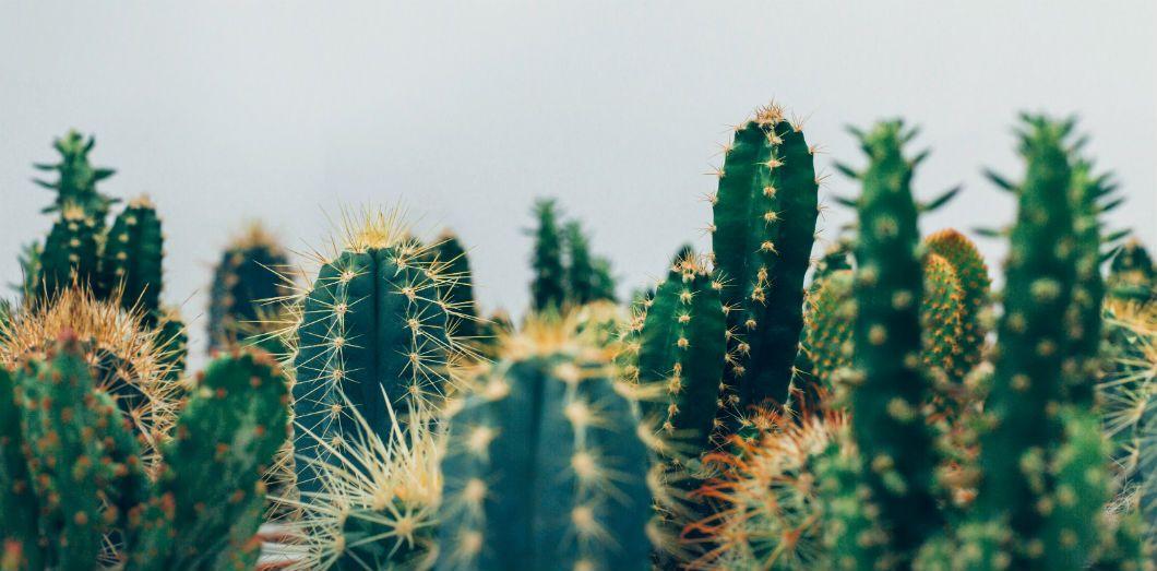 Une fois épluchées et réduites en jus, les feuilles de cactus donnent naissance à un biopolymère presque aussi solide que du plastique classique. |Thomas Verbruggen via Unsplash