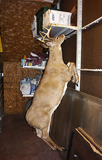 They have a deer in the back storeroom!