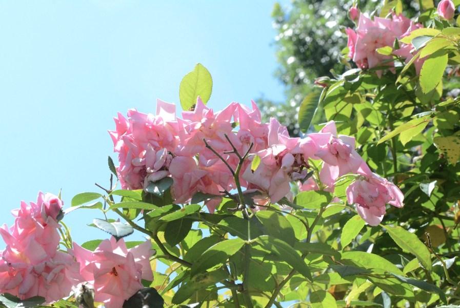 Main Pic Roses in Sky