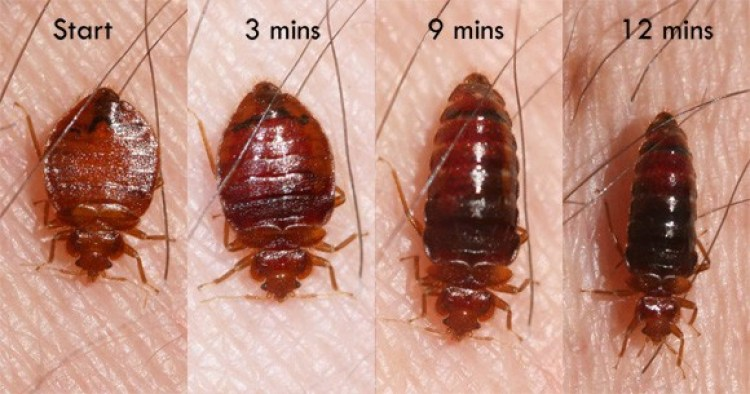 Bed Bugs definition and types