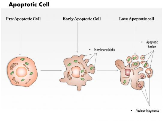 0614 Apoptotic Cell Medical Images For PowerPoint PowerPoint Design Template Sample