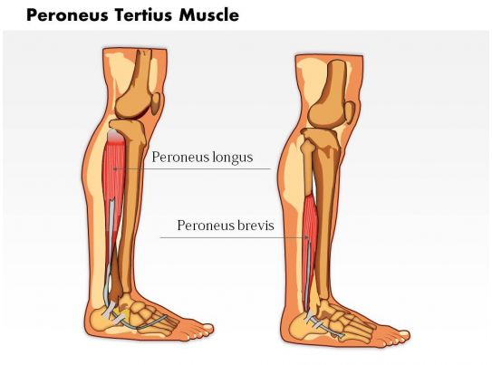 0714 Peroneus Tertius Muscle Medical Images For PowerPoint PowerPoint Presentation Slides