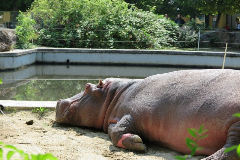 hippo sleepy