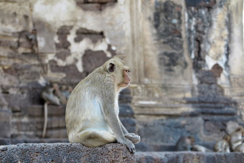 lopburi monkeys 2