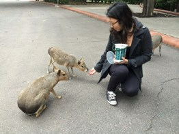 Week 6: Buenos Aires - feeding the Patagonian maras at the zoo