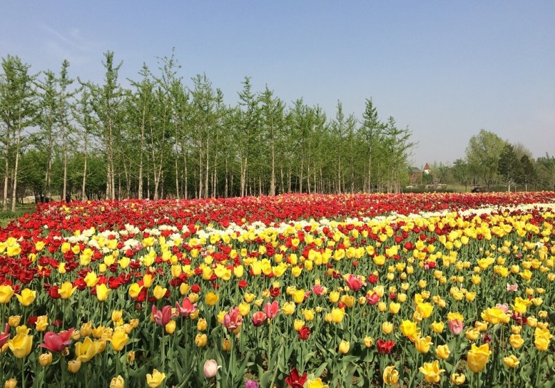 Beijing tulip fields 1