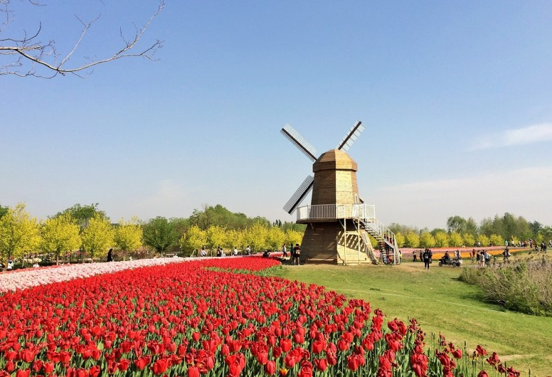 Beijing tulip fields 12