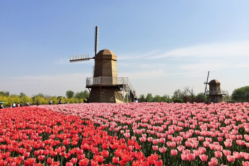Beijing tulip fields 13