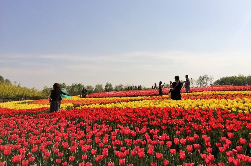 Beijing tulip fields 17