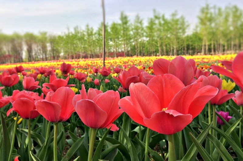 Beijing tulip fields 3