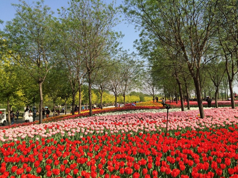 Beijing tulip fields 9