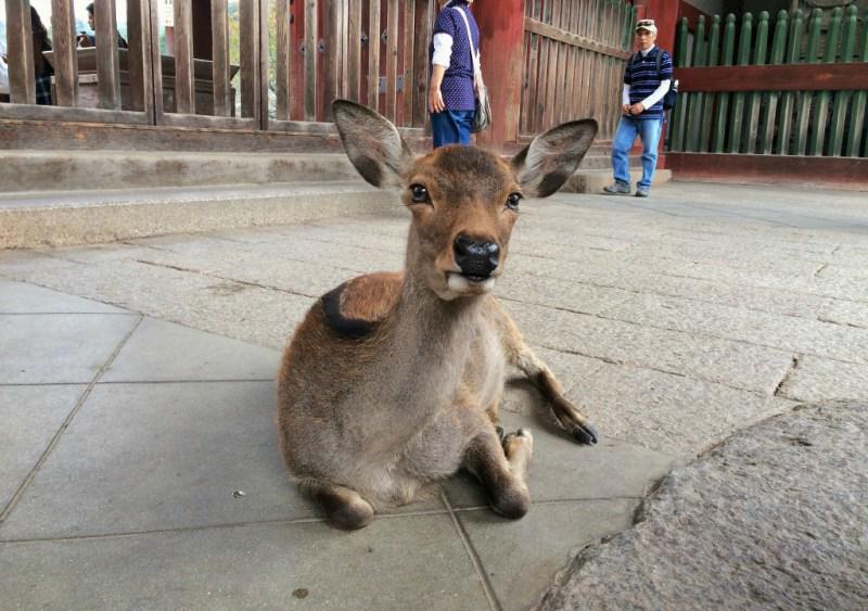 Nara deer 13