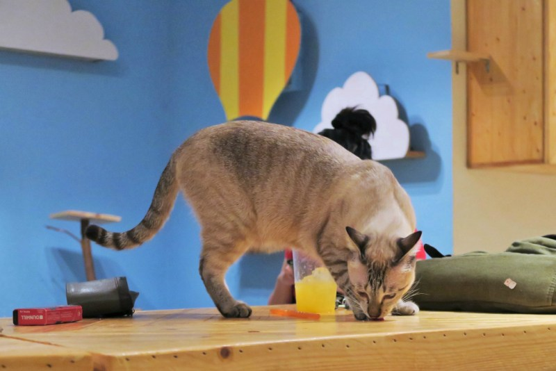 purradise cat cafe 12